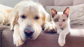 How a Golden Retriever and a Kitten Became Best Friends Compilation