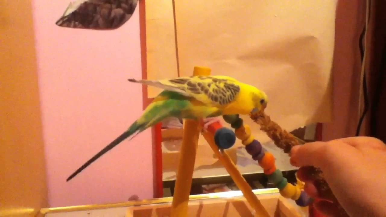 how to teach your budgie to dance