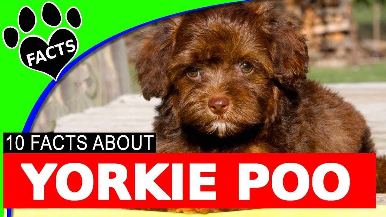 Designer Dogs 101 Yorkie Poo Yorkipoo Dogs 10 Facts Yorkie Poodle Mix Animal Facts
