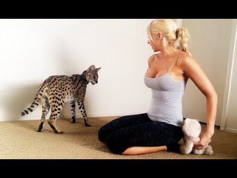OMG CAT! - Girl Playing with her Serval