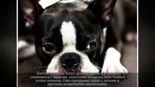 Маленькие породы собак БОСТОН  ТЕРЬЕР
