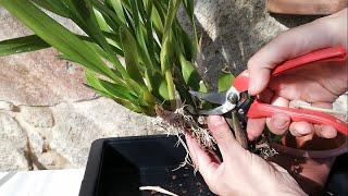 Reproducción de Orquídeas - Ojo donde cortas - De una orquídea hago cinco plantas