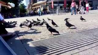 Environment Health Hazard: Feeding pigeons in public