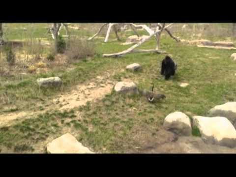 JT - Gorilla is Not a Fan of Geese