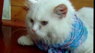 Кот и тряпка Видео HD