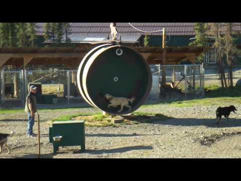 Superquick Danali sled dog on a training wheel.