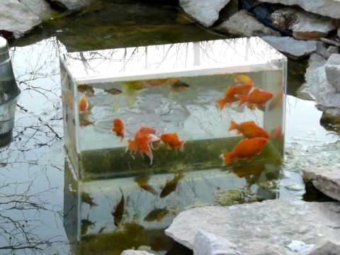 Fish observatory youtube for Diy goldfish pond