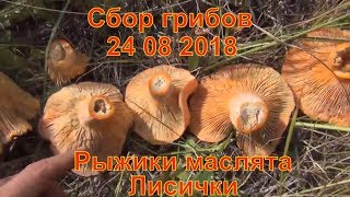 сбор грибов Грибы рыжики сбор в тайге рай 24 08 2018 Поход в лес Тайга сибирь природа тихая охота
