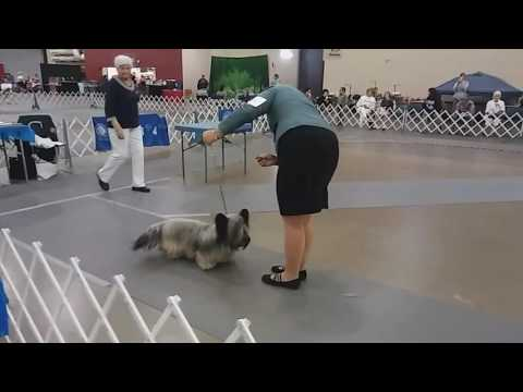 7.16.17 AKC Duluth KC Skye Terrier Open Dog