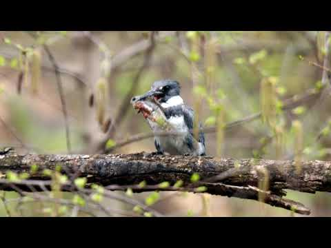2020-04-08 Belted Kingfisher