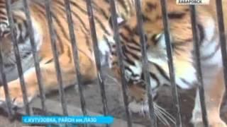 Вести-Хабаровск. Невесты для тигра