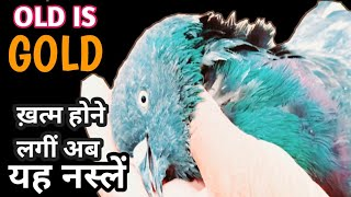 Kalsire Kabootar,Old Is Gold,High Flyers Pigeon,Of Munna Bhai Tonk,by Rizwan Ali Sabri India