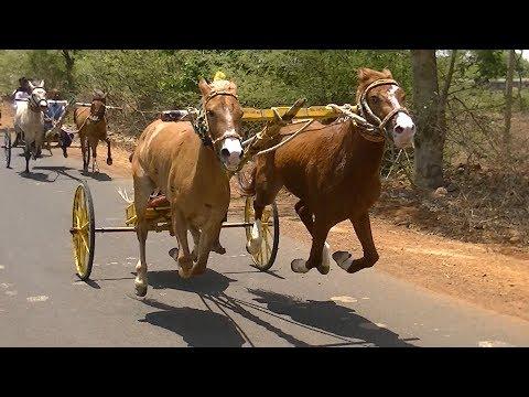 Exciting Horse Cart Race At Tavaga.2019.скачки. 赛马. Paardenrennen. Balap Kuda.