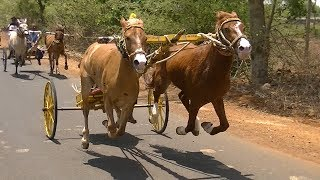 Exciting Horse Cart Race at Tavaga.2019.скачки. 赛马. paardenrennen. balap kuda.