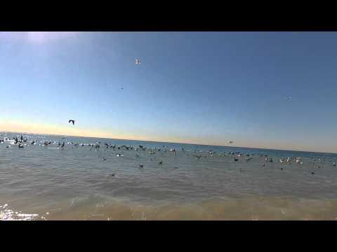 Кормежка пеликанов и чаек в Малибу. Веб Камера Малибу Http://www.Kupit-Dom.com/diving