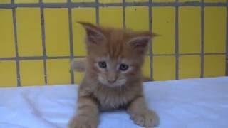 Котенок мейн-кун 1,5 мес девочка