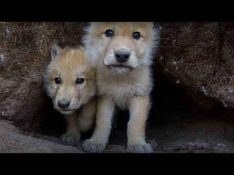 Young Wolves Filmed Using Remote Camera! - Snow Wolf Family And Me - BBC