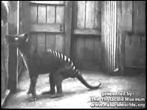 El último lobo marsupial