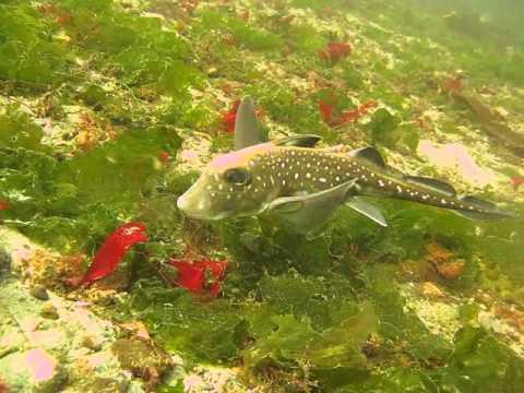 Ratfish Feeding