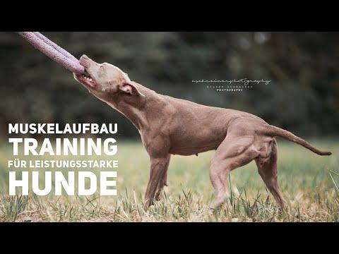 Muskelaufbau Training für Leistungsstarke Hunde - Pitbull Vito & Amalia