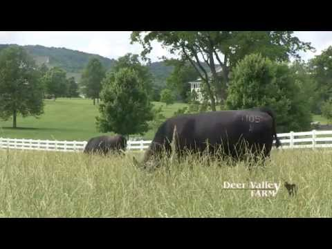 Deer Valley Farm: Quality Angus cattle