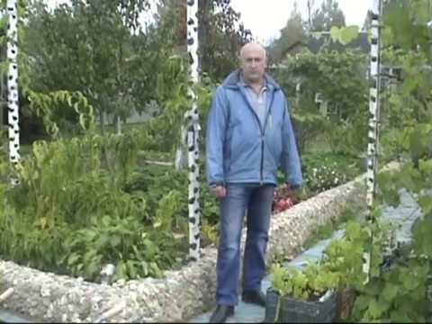 Как поливать виноград летом в средней полосе россии видео