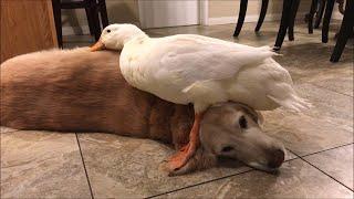 Dogs Make the Best Cuddle Buddies || ViralHog