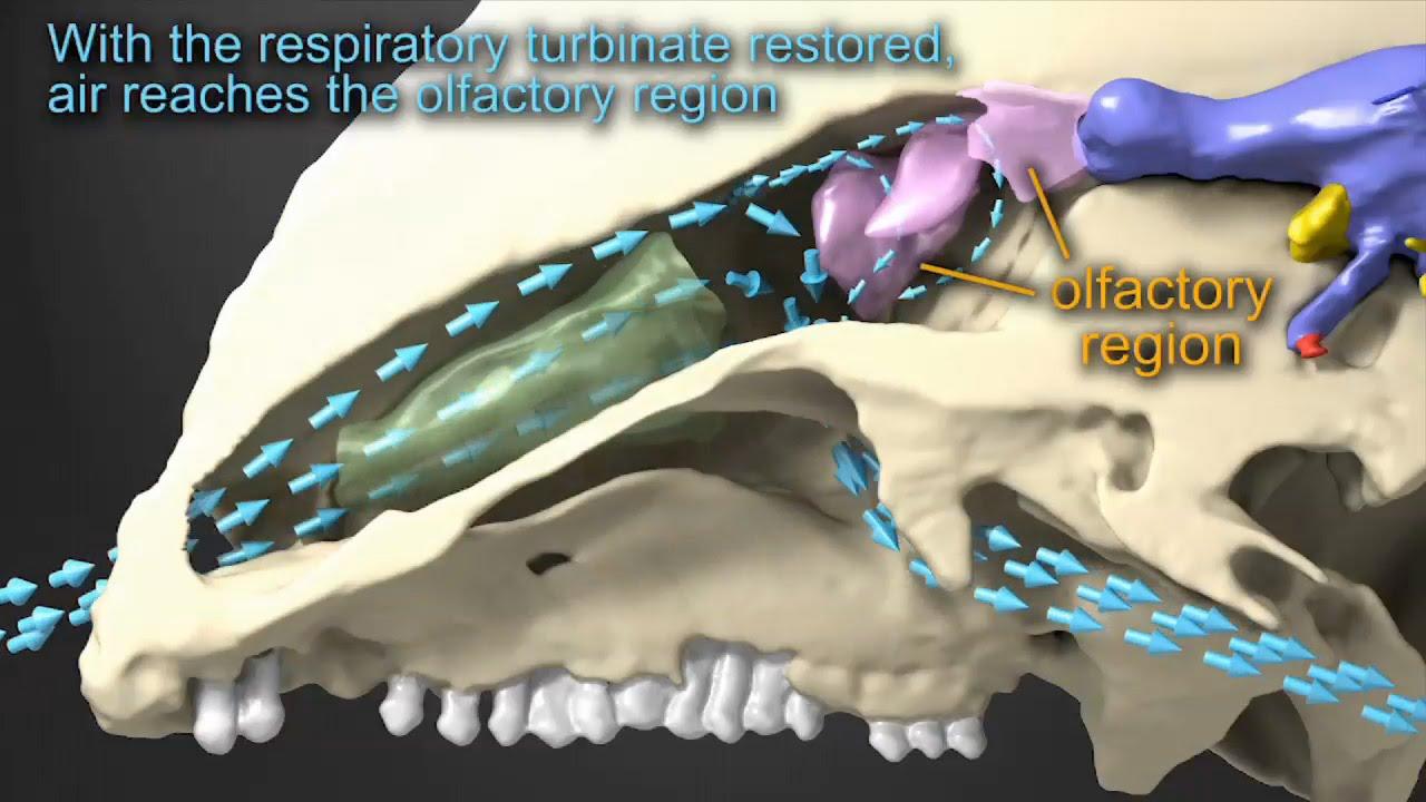 nasal airflow diagram [ 1280 x 720 Pixel ]