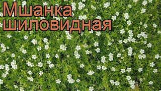 Мшанка шиловидная (sagina subulata) ???? шиловидная мшанка обзор: как сажать, рассада мшанки