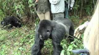 Gorilla grabs leg of tourist