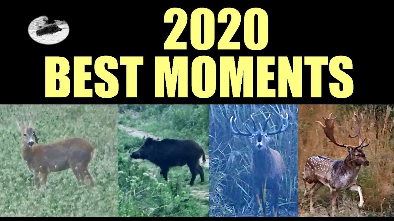 Wild boar hunting red deers and roebucks -  best moments 2020 compilation