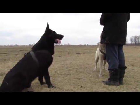 Овчарка (черного окраса) (ВЕО)