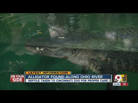 Alligator found along Ohio River