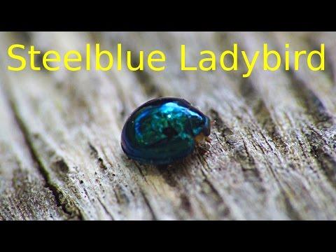 Steelblue Ladybird