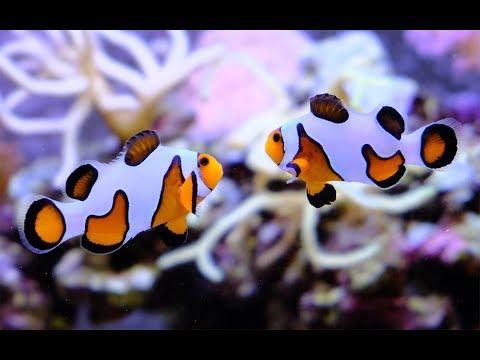 DaVinci Gladiator Extreme Ocellaris Clownfish Pair Mating