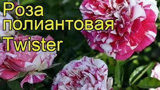 Роза полиантовая Твистер. Краткий обзор, описание характеристик, где купить саженцы Twister