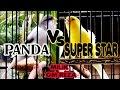 Aksi Duel Burung Kenari Juara Panda VS Super Star Milik Om Reza