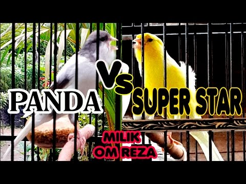 Download Lagu Aksi Duel Burung Kenari Juara Panda VS Super Star Milik Om Reza