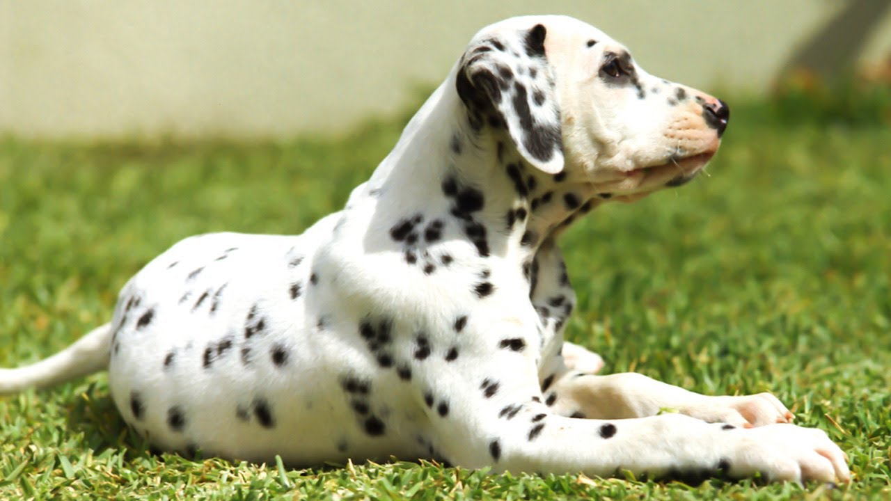 Blue Eyed Dalmatian Dog