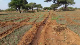 The Onion Farm in Tanzania