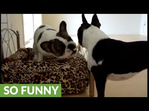 The Negotiation: Boston Terrier vs. French Bulldog