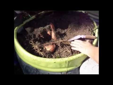 Growing Sweet Potatoes From Slip to Harvest