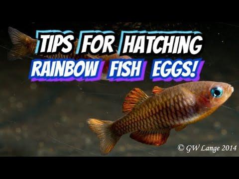 Is Dechlorinator Killing Your Fish?!... New Info On Hatching Rainbow Fish Eggs - Via Gary Lange!