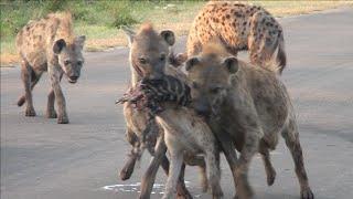 Hyena Clan Fight Over Zebra Scraps | Kruger National Park