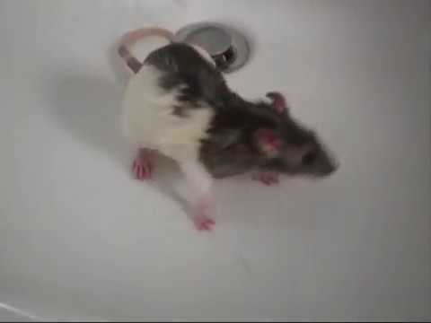 Rat in the shower