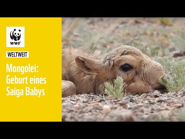 Mongolei: Die Geburt eines Saiga Babys   WWF weltweit