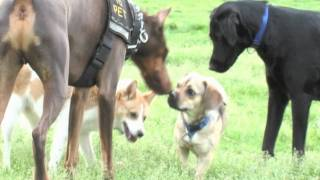Dogford Park : Zeus! And His Friends Playing At The Park (part 2 Of 3)