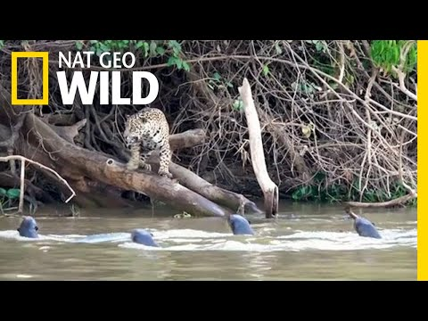 Jaguars vs. Giant Otters: Who Will Win?   Nat Geo Wild