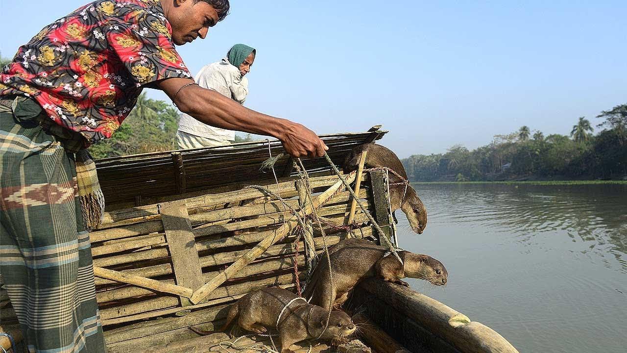 বাংলাদেশে ভোঁদড় দিয়ে মাছ শিকার | পোষা জন্তু যখন জেলের অবলম্বন !! FISHING WITH ANIMALS