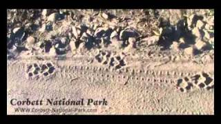 Tiger Pugmarks At Jim Corbett National Park